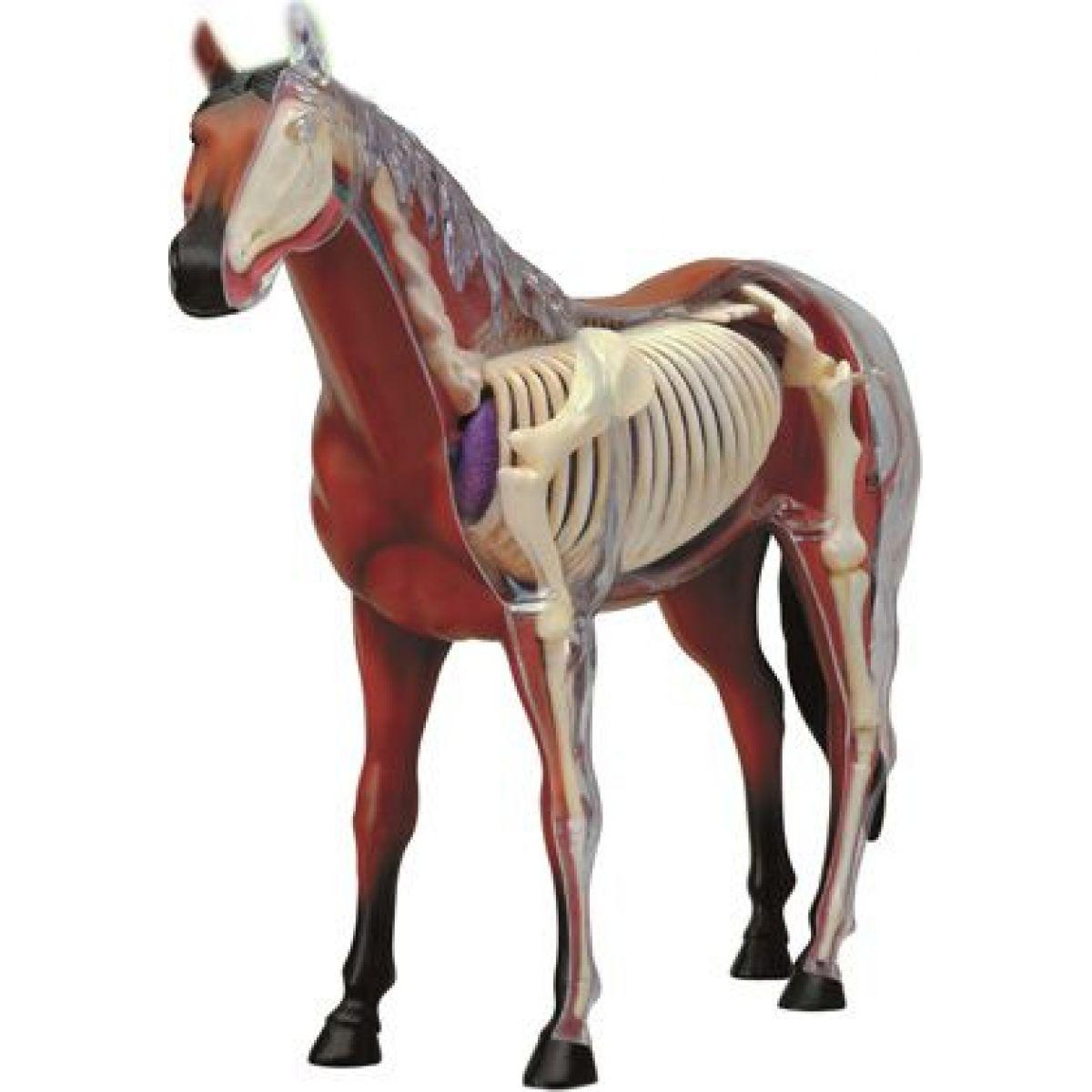 4D HM studio Anatomický model Kůň