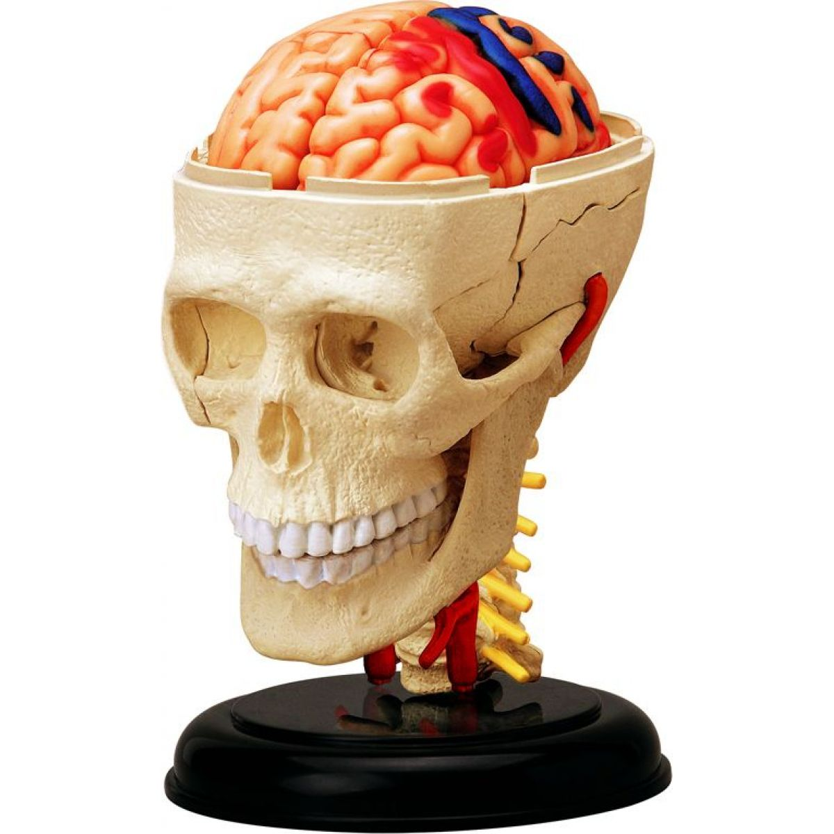 4D HM Studio Anatómia človeka Lebka