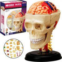 4D HM Studio Anatómia človeka Lebka 2