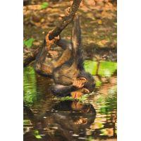 Clementoni National Geographic Scimpanzé 1000 dielov 2